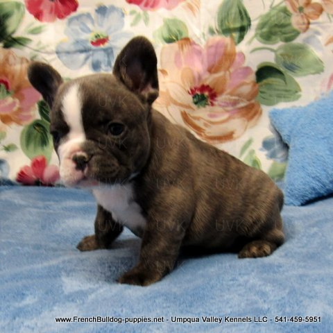 Male French Bulldog Puppy