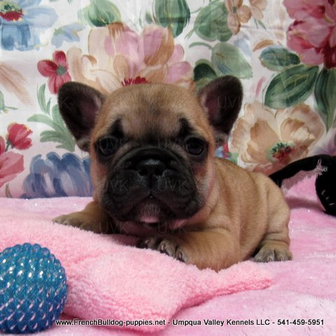 Female French Bulldog Puppy