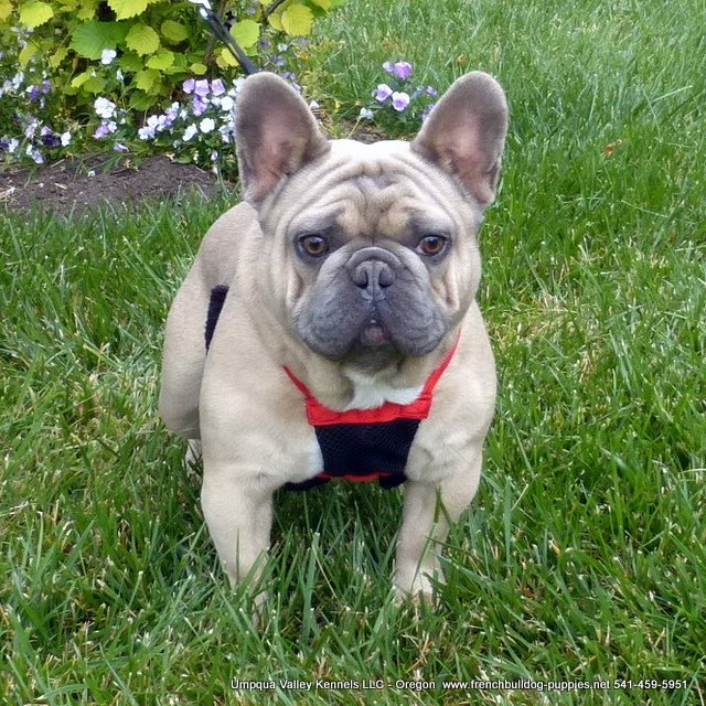 AKC French Bulldog Puppy